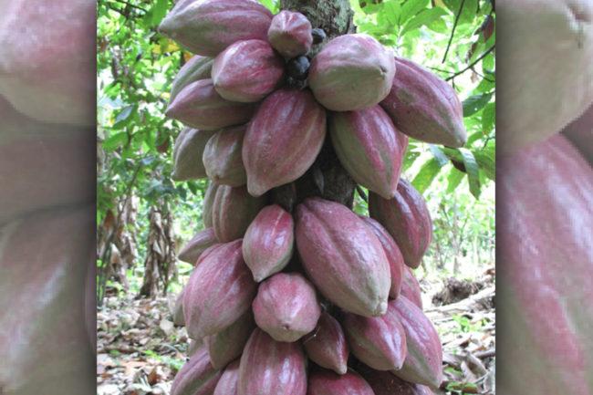 Cargill cocoa beans