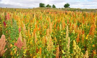 Colorado-quinoa-multicolored-field