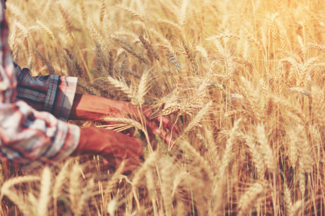 WheatResearch